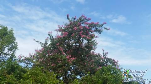 Flower Tree Hawaii